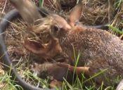 [Video] Coneja salva a sus crías de una ataque de serpiente