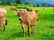 En Suiza quieren prohibir las vacas con cencerros