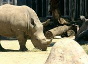 Murió Nabire, uno de los pocos ejemplares de los rinocerontes blancos