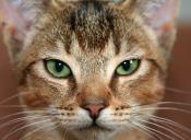 Síndrome urológico en felinos: un grave problema con una simple solución