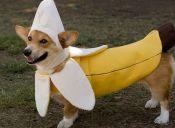 10 Disfraces baratos y fáciles para tu perro que matarán, pero de la risa