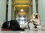 Con perros entrenados contienen a las victimas en los juicios de Estados Unidos