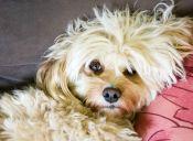 Perros de raza pequeña pueden sufrir por el estreñimiento