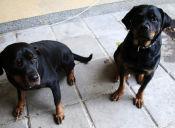 Policía española detuvo a dos rottweilers que paseaban sin su dueño