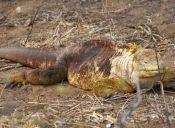 Dirección del Parque de Galápagos asegura que las iguanas rosada no están en peligro