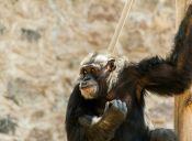 Los chimpancés podrían dejar de ser usados por los laboratorios de Estados Unidos
