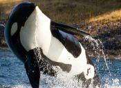 SeaWorld no podrá tener nuevas orcas en cautiverio
