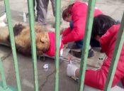 Zoológico cierra y deja a cinco leones abandonados