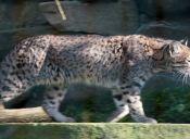El gato andino es el felino más amenazado de América