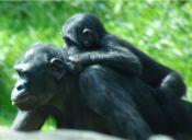 Los chimpancés pigmeos se comunican como los bebés humanos