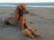 En Corea del Sur están de moda las cirugías estéticas para perros