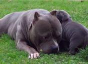 [Video] Un pitbull y su hijo se quieren mucho