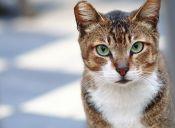 En las heces de los gatos podría estar la cura al cáncer