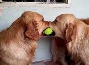 [Video] Así se solucionan los problemas entre los Golden