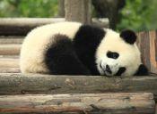 Estudio reveló por qué los pandas son tan flojos