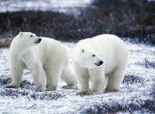 Los osos polares están en serio peligro por el efecto invernadero