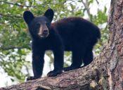 Los osos son los más afectados por la sequía que afecta a California