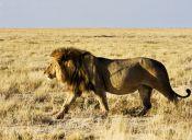 Matar a un león: uno de los actos más cobardes