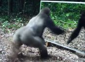[Video] Mira la reacción de los animales salvajes cuando se miran por primera vez en el espejo
