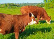 Suplemento alimenticio para vaca podría ayudar a combatir el calentamiento global