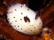Animales que no creerás que existen: Conejito de mar