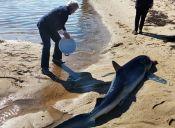 Un enorme tiburón azul es salvado de morir varado en la costa de Estados Unidos
