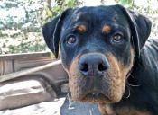 [Video] Conoce al Rottweiler que pone cara de malo