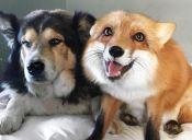 Perros y Zorros pueden ser muy buenos amigos