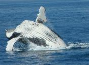 Japón tendrá que dejar la caza de ballenas