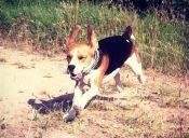 Charlie, el beagle que cuida muy bien de los bebés