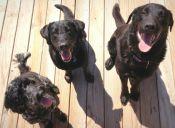 Perros de Alicante tendrán su carnet para optar a beneficios