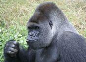 Los gorilas podrían aprender a hablar