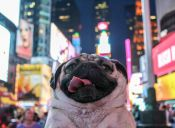 [Fotos] Conoce a Doug, un Pug muy famoso