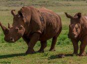 Cuernos falsos podrían ser la salvación de los rinocerontes