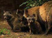 En un zoológico mexicano nace una camada de 9 perros mapaches