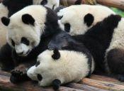 4 cachorros de osos panda nacieron en China