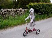 [Video] Un perro disfruta de un paseo en triciclo