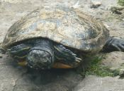 Señales de que tu tortuga está enferma