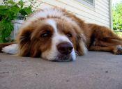 Tips para cuidar a tu perro de la artritis