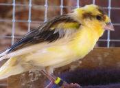 Enfermedades de las aves detectadas por las plumas