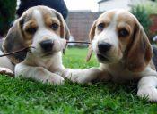 10 curiosidades de los Beagles
