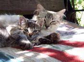 Mitos y verdades de la esterilización temprana de gatos