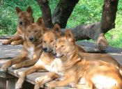 Conoce 10 de las razas más antiguas de perros