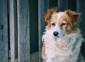 Conoce 8 razas de perros extintas
