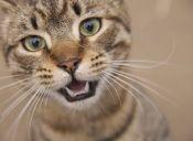 Una buena higiene bucal de los gatos, depende de ti