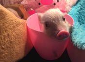 Una nueva tendencia: Cerdos en miniatura