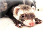 ¿Cuáles son los roedores más dormilones?