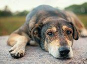¿Qué significa la tos de perro?
