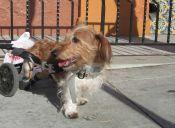 Razones y Beneficios de adoptar Perros con discapacidad