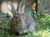 ¿Qué razas de conejos podemos encontrar en nuestro país?